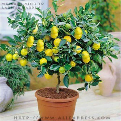 10pcs/bag Edible Fruit Meyer Lemon plants Exotic Citrus Bonsai Lemon Tree