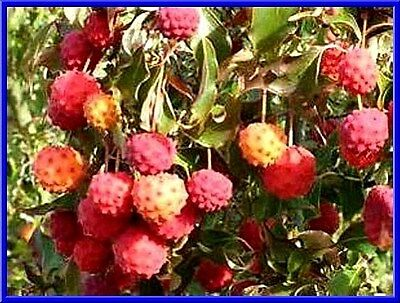 Japanese Dogwood Tree Seeds- Grows Edible Berries - See our store- COMB. S/H!