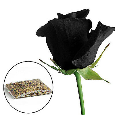SUP 100Pcs Mysterious Black Rose Flower Plant Seeds Beautiful Black Rose New Hot