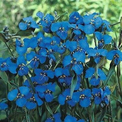 Commelina Dianthifolia  Stunning Electric Blue Flowers.20 seeds  - perennial