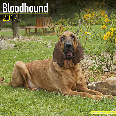 "Bloodhound 2017 Wall Calendar by Avonside (12"" x 24"" when opened)"