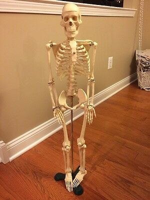 1st Quality Human Anatomical Anatomy Skeleton Model w/ STAND for Doctor/Student