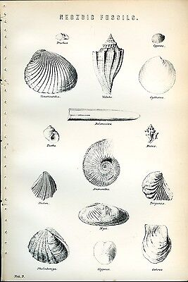 Neozoic Fossils 1885 Antique Original Print from Engraving Geology Paleontology