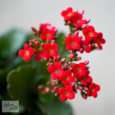 Kalanchoe Cutting - Red Succulent Flowers Plant