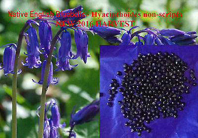 BLUEBELL English 200 Seeds Sow Now for stratification, Hyacinthoides non-scripta