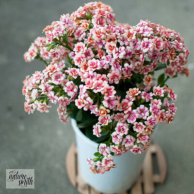 Kalanchoe Plant - RARE, White flowers with pink centre