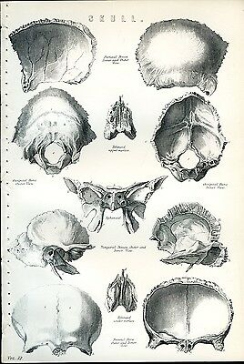 HUMAN SKULL 1885 Antique Original Print from Steel Engraving Anatomy