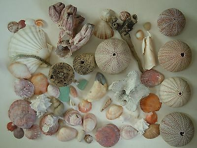 Beech sea shell collection including very large barnacle and  urchins