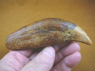 """CAVE257-301 Genuine 6"""" EXTINCT Fossil male CAVE BEAR Canine TOOTH CANINE Romania"""