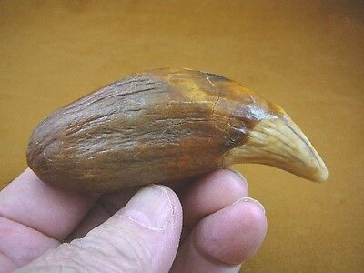 """(CAVE257-311) 4-3/4"""" EXTINCT Fossil male CAVE BEAR Canine TOOTH CANINE Romania"""