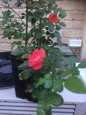 Miniature Red Rose Plant