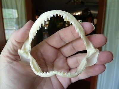 "(SJ440-80) Spottail SHARK 3"" wide jaw sharks jaws teeth taxidermy biology"