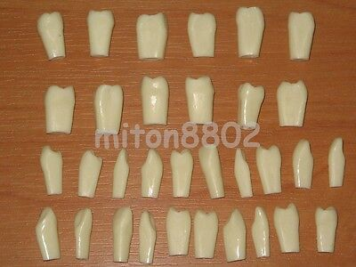 Spare Teeth For Adult Typodont Model Teeth Removable Study