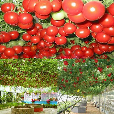 10pcs Seeds Sweet Juicy Huge Tree Tomato Fruit Vegetable Plant Seeds New