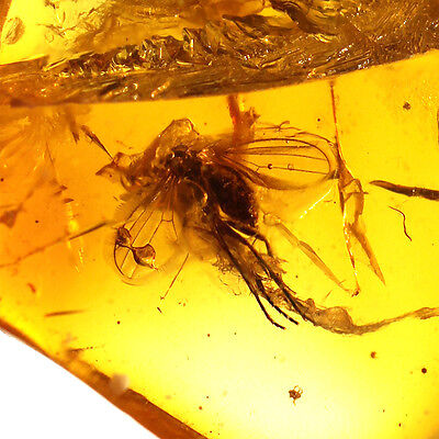 Fossil Insect inside Baltic Amber Inclusion Mosquito