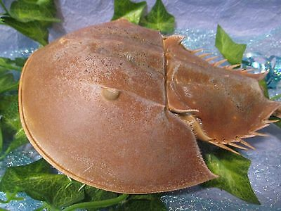 1 Real Horseshoe Crab Natural Molt Science Education Marine Life Ocean Crab Molt