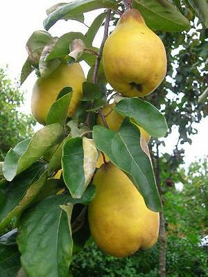 10lit Potted QUINCE Meeches Prolific Fruit TREE 4-5ft Orchard or Pot Tub Jelly
