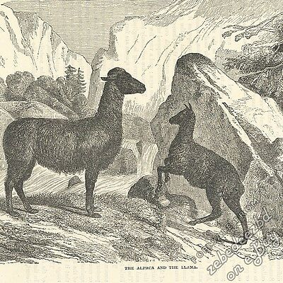 Alpaca & Llama: antique 1866 engraving print: picture drawing art, animal nature
