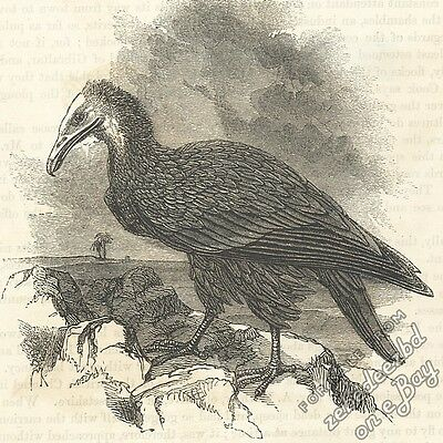 Egyptian Vulture: antique 1866 engraving print - bird of prey picture animal art