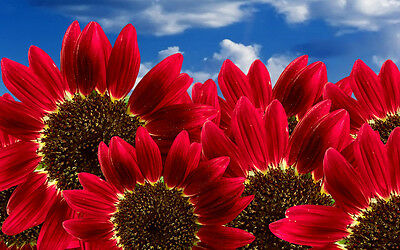 """Sunflower Seeds """"Red Sun"""" Heirloom Flower Seeds Multiple Blooms & Branches"""