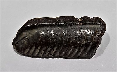 Fossil Sting Ray Tooth Pleistocene Venice Beach Florida Usa  Old Collection