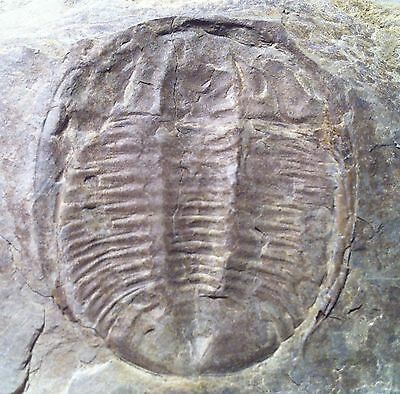 Species of CERNUOLIMBUS trilobite, ventral, 1 3/4 inch, Late Cambrian