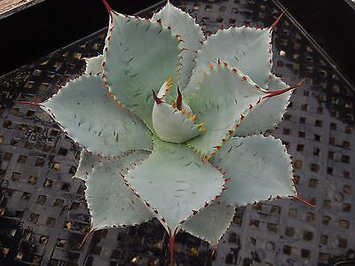 Agave pygmaea 'Dragon Toes' Succulent Plant