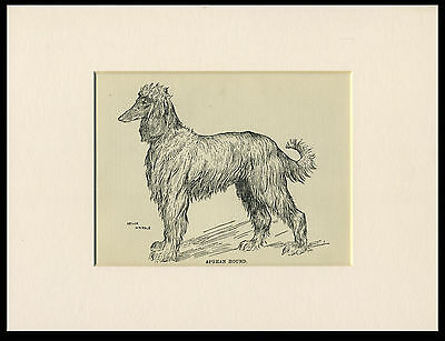 AFGHAN HOUND OLD ANTIQUE 1912 DOG PRINT by ARTHUR WARDLE READY MOUNTED