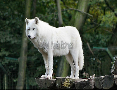 METAL REFRIGERATOR MAGNET White Wolf Arctic Wolf On Wood Porch
