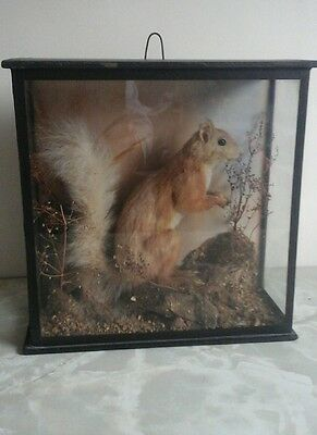 Antique Taxidermy red Squirrel in glass display case