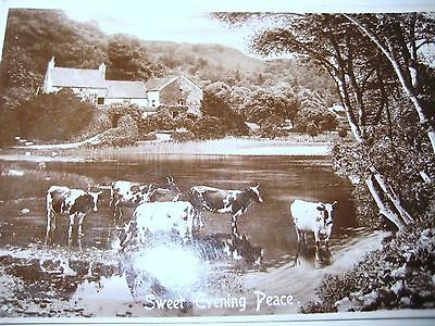 """""""Sweet Evening Peace"""" Beautiful Farm Scene with Cattle Cows Rotary Photo Co card"""