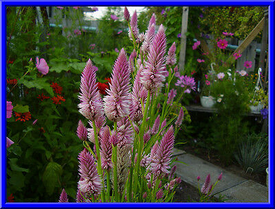 Hot Pink Brain Celosia 25 Seeds Comb S//H  See our store!