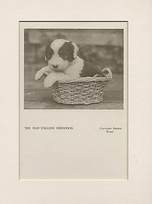 Old English Sheepdog Puppy Charming Old 1940's Dog Print Ready Mounted