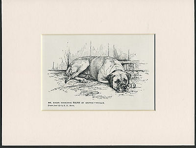 Mastiff Old 1912 Antique Named Dog Print Mounted Ready To Frame