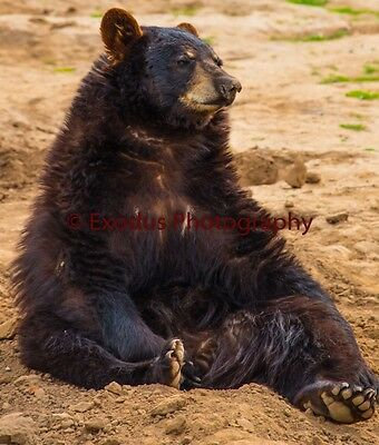 """digital picture, photography, wall paper -- """"Sitting Bear"""""""