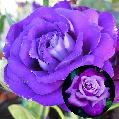 200 Purple Rose Seeds Awesome Great Color Fragrant Flower Garden Plant Decor
