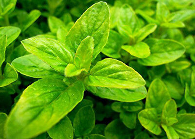 Golden French Oregano aromatic herb plant with golden leaves 9cm pot