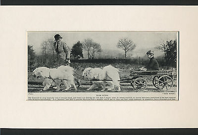 SAMOYED DOGS IN HARNESS GREAT OLD 1930's DOG PRINT MOUNTED READY TO FRAME