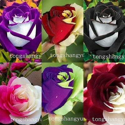 Newest Free Shipping High Survival Rose Seeds 60 PCS Flower Seed Garden Plants