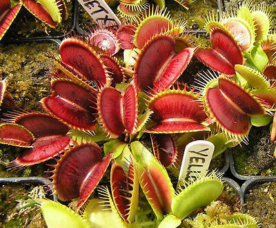 40Pcs Novelty Venus Fly Trap Carnivorous Plant Seeds With Care Instructions BT37
