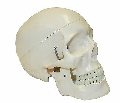 Walter Products B10207A Classic Human Skull Model Life Size