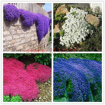 100pcs Purple Flower Aubrieta Hybrida Seeds Garden Perennial Ground Cover Plant