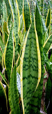 "Sansevieria Trifasciata ""Laurentii"" succulent ""Yellow Mother in laws tongue"""