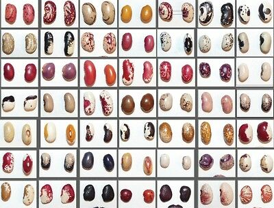 Bean seeds + gift - rare - limited time offer - Frijol, Bohnen, Haricot