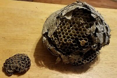 """HORNET NEST! School Science Projects Outdoors Home Decor Man Cave 7"""" Nature"""