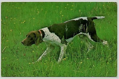 German Shorthaired Pointer At Work Old Dog Postcard