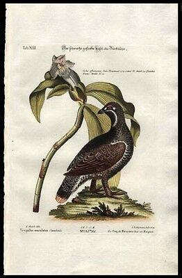 Rare  American Spotted Grouse 1759 Seligmann-Edwards Engraved Had-Colored Print