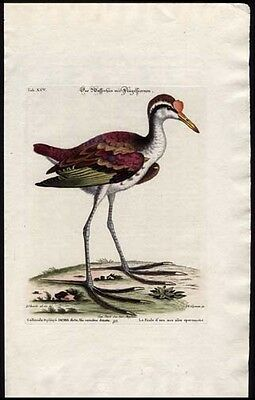 Rare Jacana or Jesus Bird 1759 Seligmann-Edwards Engraved Had-Colored Print