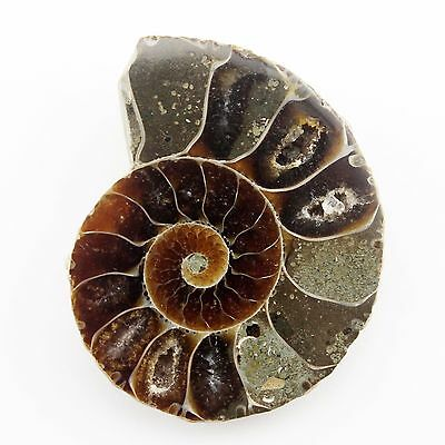 30.20 ct Natural Ammonite Fossil  ( Untreated ) / R3371