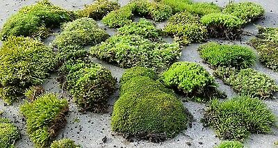 Live Moss Assortment for Fairy Garden, Terrariums, Centerpieces from MO Woods